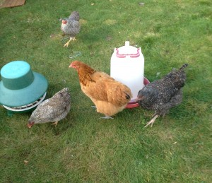 Free Ranging Hens Eating