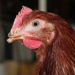 Debeaked Chicken - Egg Farming