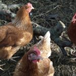 3 Nova Brown Hens