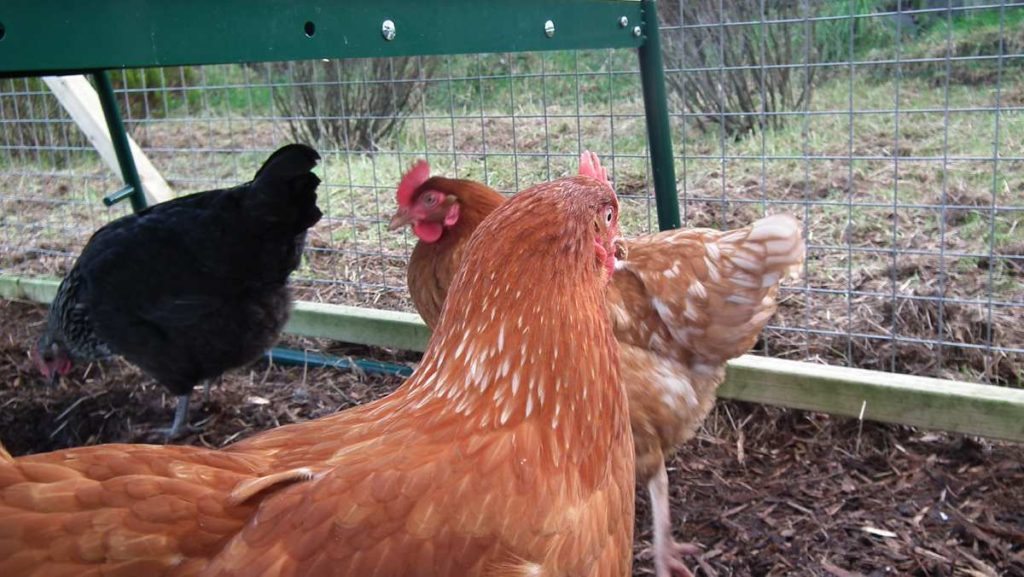 Hens in Run