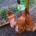 Hens Eating Lettuce
