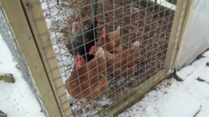 Chickens Eager for Corn