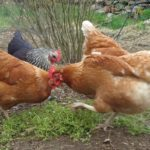 Chickens Eating Chickweed