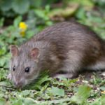 Ethical Considerations Regarding Rodenticides – Rat Poisons