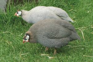 Guinea Fowl For Sale Breeders And Suppliers Of Guinea Fowl
