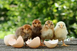 Hatched Chicks and Egg Shells