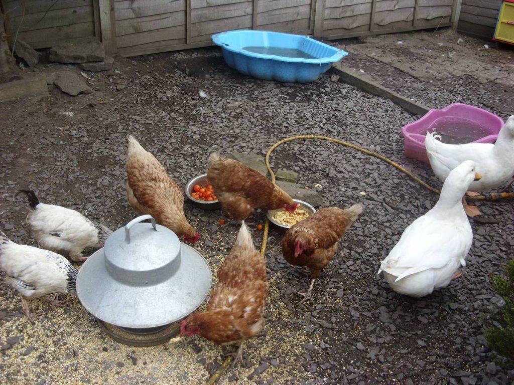 Backgarden Poultry Flock