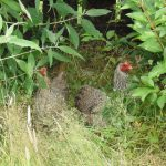 Why Keep Chickens? Pros & Cons of Chicken Keeping