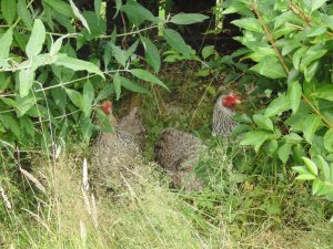 Free ranging chickens in the hedgerow