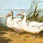 The Aylesbury Duck