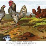 Bantam Chickens