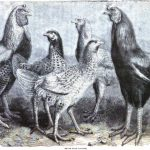 Begum Pilly Gaguzes - Indian Chickens