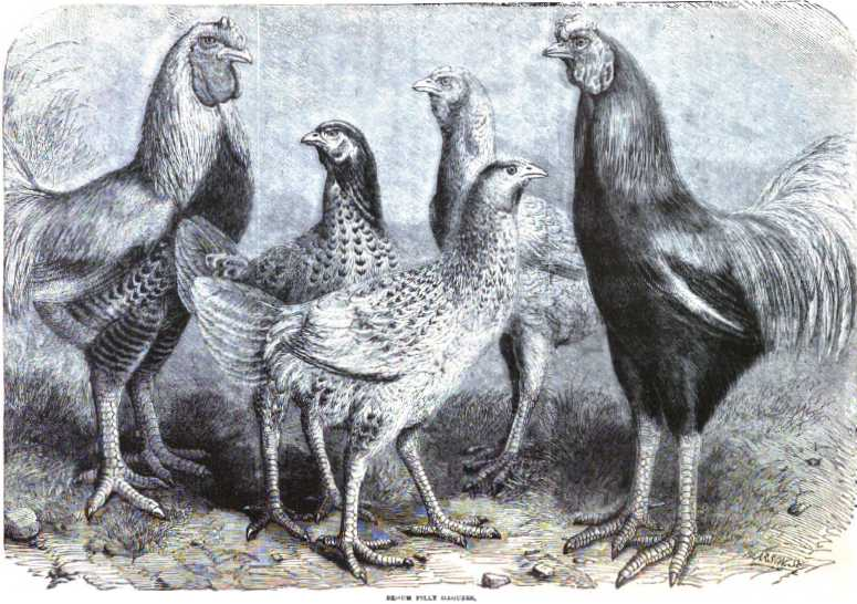 Begum Pilly Gaguzes Indian Chickens