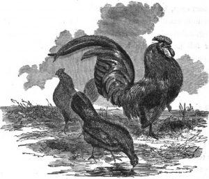 Black Bantam Chickens