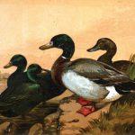 Black East Indian | Buenos Ayrean Ducks