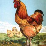 Mr Sturgeon's Cochin Chickens 1850