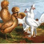 Buff Polish Chickens - Egg Production from Polish Chickens