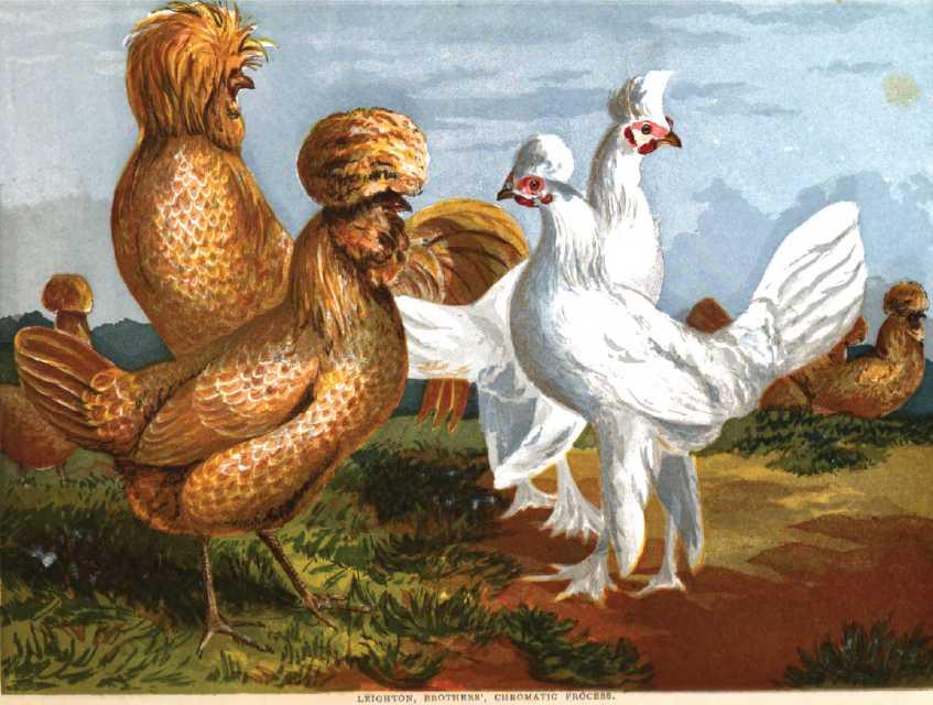 Buff Polish Chickens