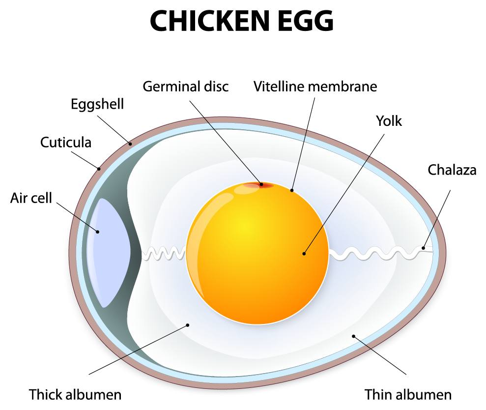 Chicken Egg egg structure the structure of an egg the poultry pages