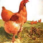 Light Cinnamon Cochin Chickens