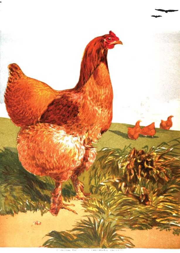 Cinnamon Cochin Hen