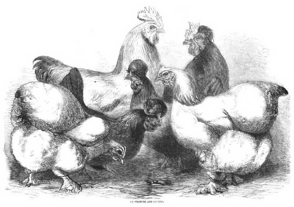 Crevecoeurs and Cochin Chickens