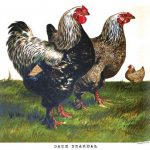 Origin of Brahma Chickens
