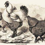 Dark & Light Brahma Chickens