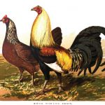 Duck Winged Game Fowl