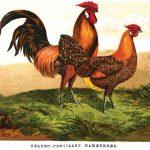Golden Pencilled Hamburgh Chickens