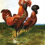 Golden Spangled Polish Chickens