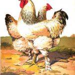 Cross Breeding - Hybrid Chickens