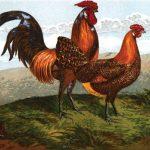 Hamburgh Chickens - History & Types