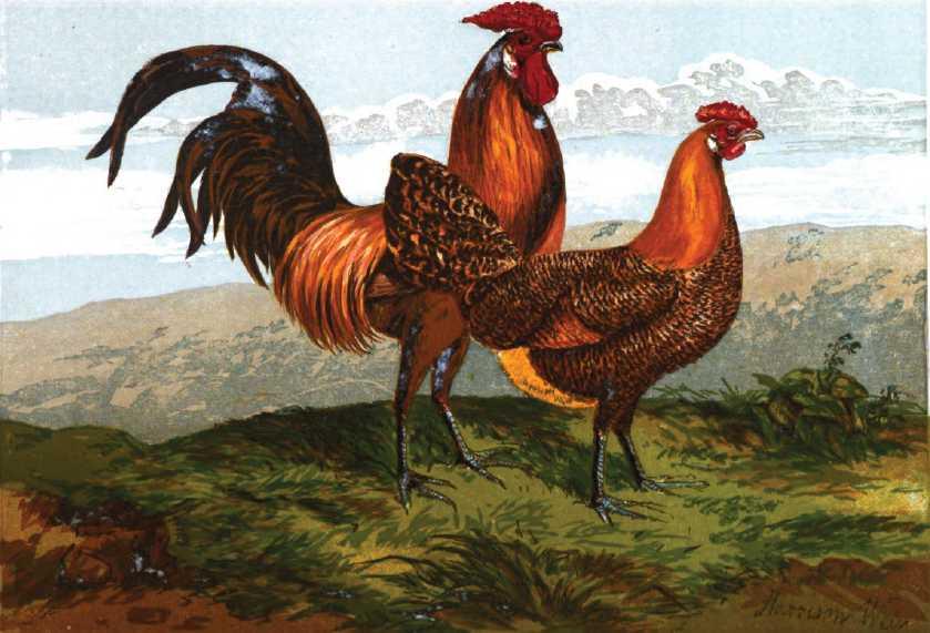 Hamburgh Chickens