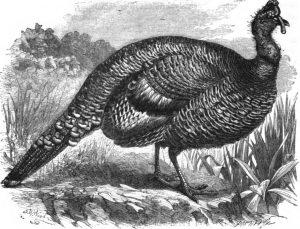 Honduran Turkey Meleagris Ocellata