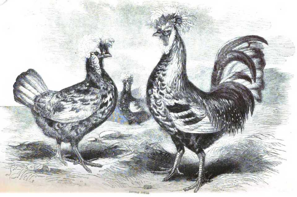 Houdan Fowl - French Poultry Breeds