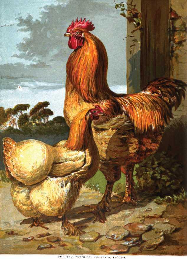 Lemon Cochin Chickens