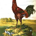 Malay Chickens - History, Size & Nature