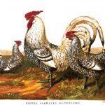 Silver Spangled Hamburgh Chickens