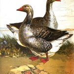The Toulouse Goose