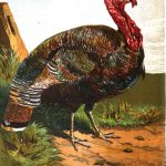 History of the Turkey in Britain