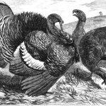 Origin of the Turkey