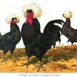 Origins of Polish Chickens