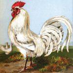 White Dorking Cockerel