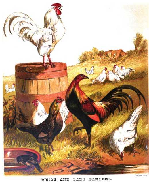 White Game Bantam Chickens