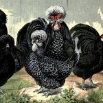 French Breeds of Chickens