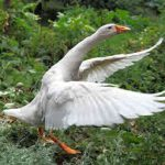 Introduction to Geese & Feeding Geese