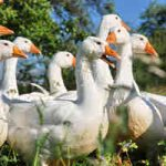 Geese Diseases, Parasites, Worms, Lice & Mites