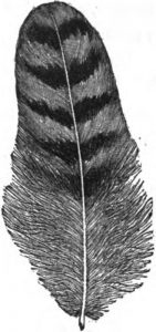 pencilled feather