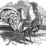 Pencilled and Spangled Hamburgh Fowl